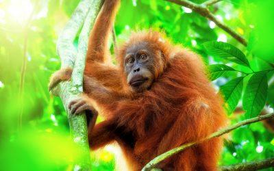 Ook Nature PictureLibrary steunt nu Sumatran Orangutan Society!