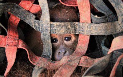 Intussen op Sumatra… een geslaagde reddingsactie