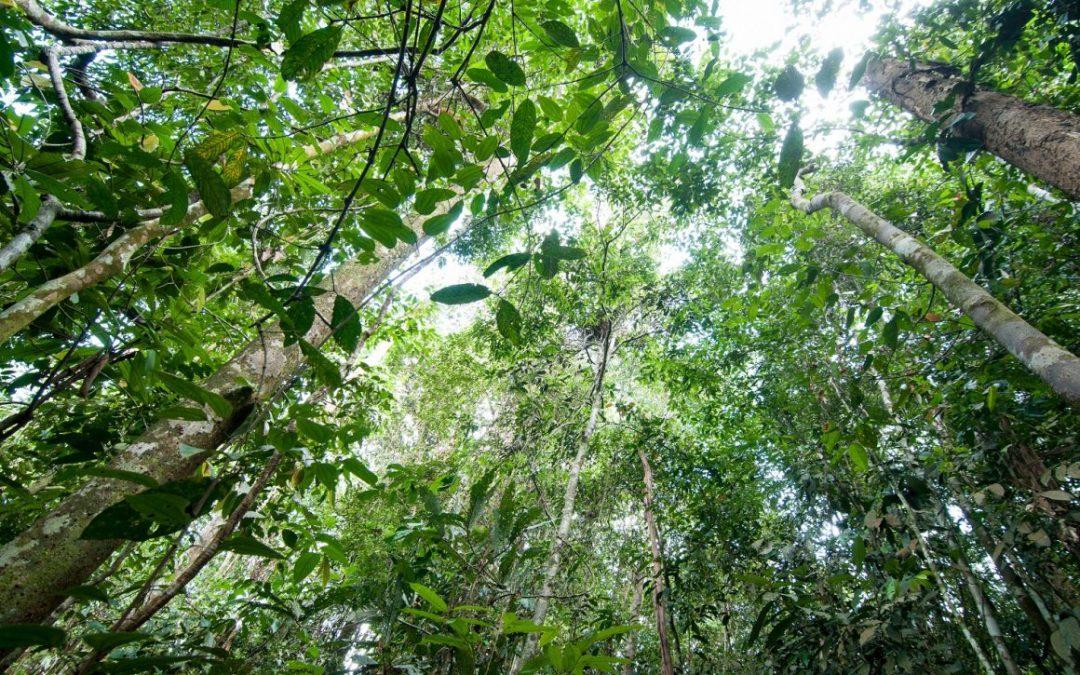 Goed nieuws voor Indonesische oerbossen