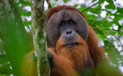 Covid-19 en orang-oetans