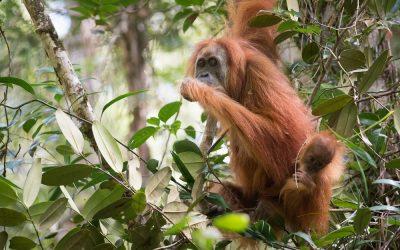 De Tapanuli orang-oetans worden beroemd
