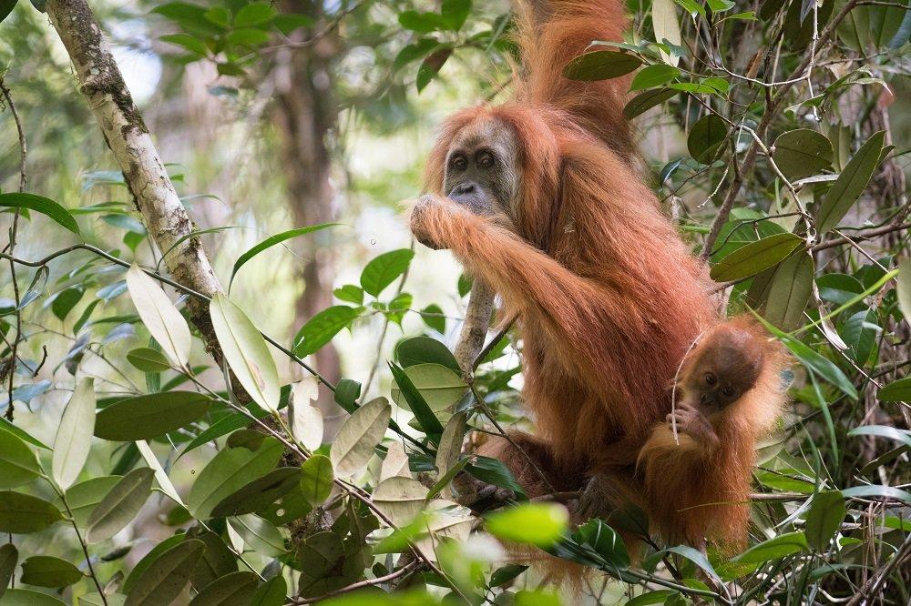 Een kans om de Tapanuli orangutans te redden?