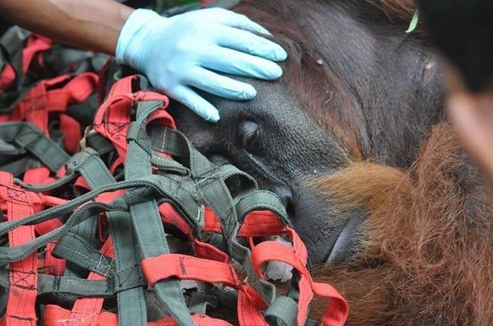 De orangoetanredders hebben nog steeds je hulp nodig